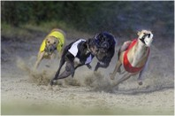 11-1403-0151 Greyhounds en course_800.jpg
